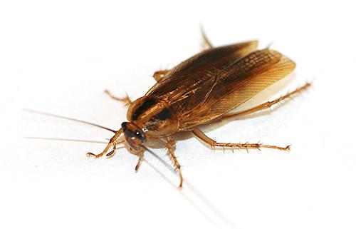 Borsäure ist sehr giftig für Kakerlaken