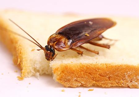 Kakerlaken in der Wohnung loswerden