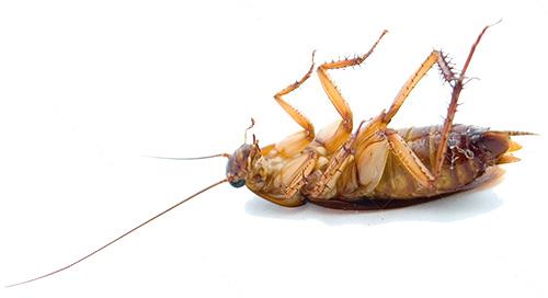 Kakerlaken sterben bei niedrigen Temperaturen