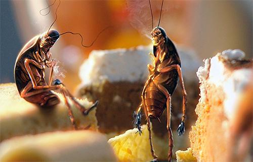 Unreine Speisereste tragen zur Züchtung von Kakerlaken bei