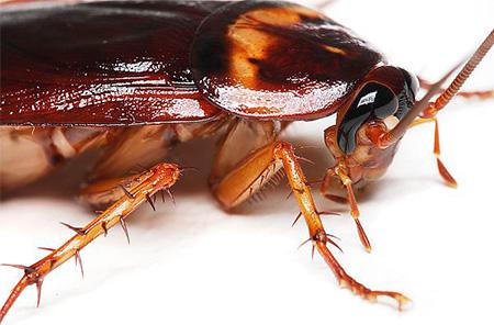 Wir zerstören Kakerlaken in der Wohnung