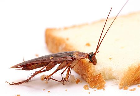 Es ist wichtig, den Zugang von Kakerlaken zu Nahrung und Wasser zu begrenzen.