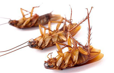 Tote Kakerlaken
