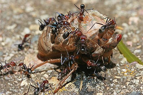 Ameisen sind fast Allesfresser, aber sie haben auch ihre eigenen Essensvorlieben ...