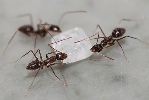 Ameisen sind glücklich, Zucker zu essen