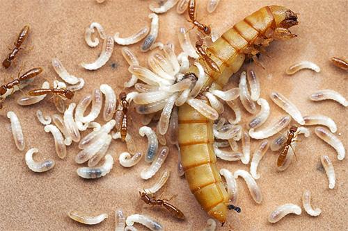 Ameisenlarven brauchen Proteinfutter