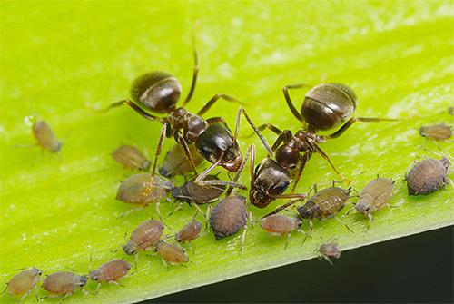 Blattläuse heben den Block hervor, den Ameisen gerne essen.