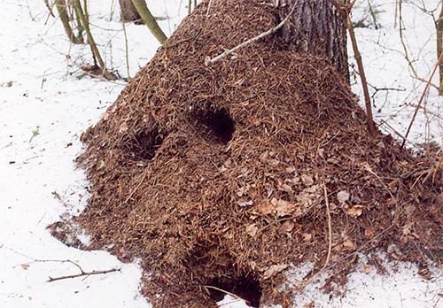 Im Winter sieht der Ameisenhaufen leer aus, aber das Leben geht weiter.