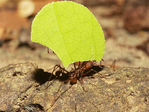 Blattschneiderameisen sammeln Blätter, um Pilze auf Bodenmasse anzubauen