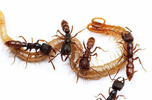 Die Dracula-Ameise fängt verschiedene Insekten und füttert ihre Larven