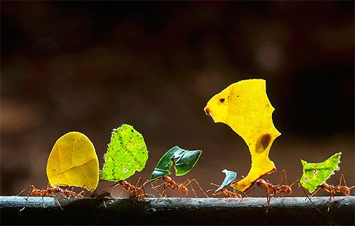 Blattschneiderameisen sind für ihre ungewöhnlichen Fähigkeiten bekannt. Lass uns herausfinden was?