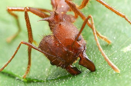 Es sind kräftige Kiefer, die es diesen Ameisen erlauben, Stücke von Blättern abzubeißen.