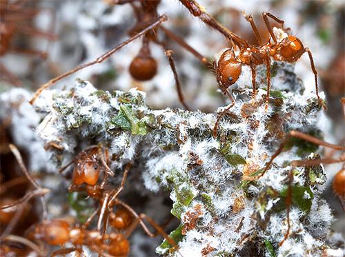 Auf zerkleinerten Blättern wachsen kleine Pilzzüchter mit einem speziellen Pilz.