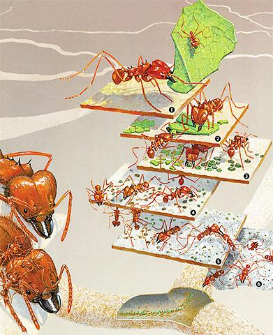 In der Sektion sieht der Ameisenhaufen aus wie ein Ei mit seinem Zentrum und vielen Schichten