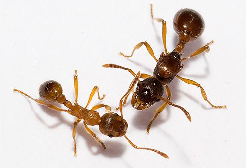 Verschiedene Arten von Ameisen haben ungefähr die gleichen Beine auf ihren Körpern.