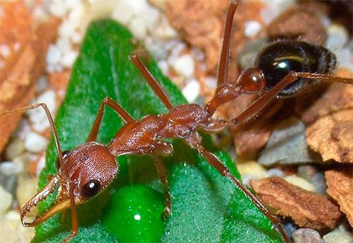 Bulldog Ameisen können schwimmen