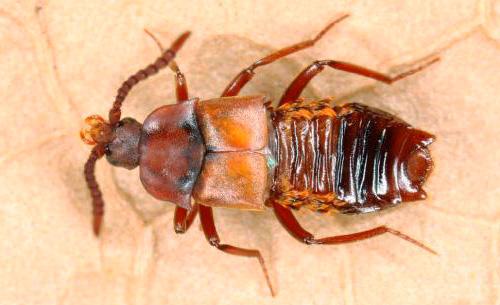 Lomehuza - dieser Käfer kann ungehindert den Ameisenhaufen betreten