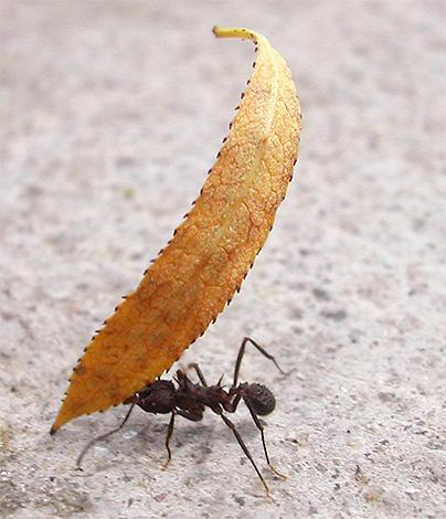 Mit Hilfe von Beinen und Kiefern können Ameisen eine große Last heben.