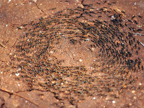 Das Foto zeigt Ameisen, die in einem Kreis laufen.