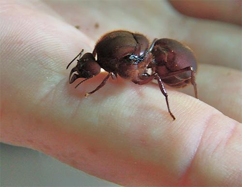 Die Gebärmutter von Ameisen lebt normalerweise viel länger als andere Mitglieder der Kolonie