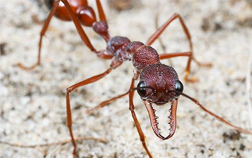 Arbeiter-Bull-Ameisen können bis zu 5 Jahre alt werden