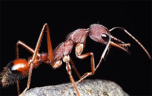Foto von Ameisenbulldogge - eine der langlebigsten Ameisen