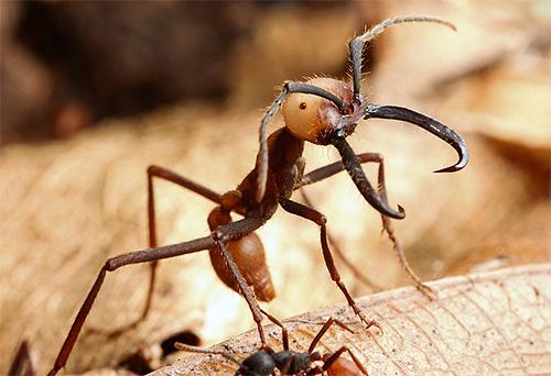 Nomadische Ameisen können sich nicht so lange halten wie Bulldoggen, aber sie sind für andere Aufzeichnungen bekannt.