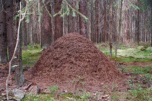 Ameisenhaufen in Form eines großen Pfahls finden sich häufig in unseren Wäldern.