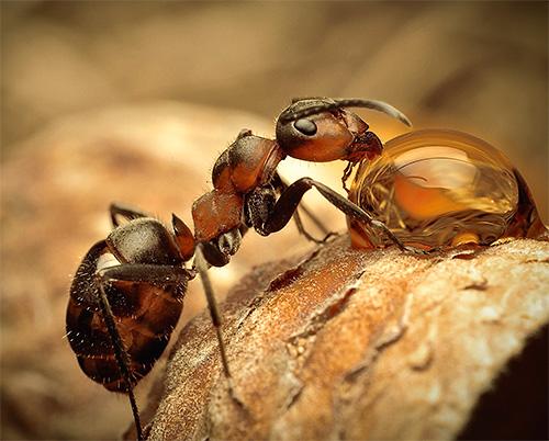 Machen wir uns mit den interessantesten Ameisenarten näher bekannt.