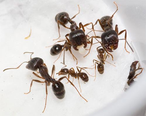 Auf dem Foto - die Ameisen Schnitter