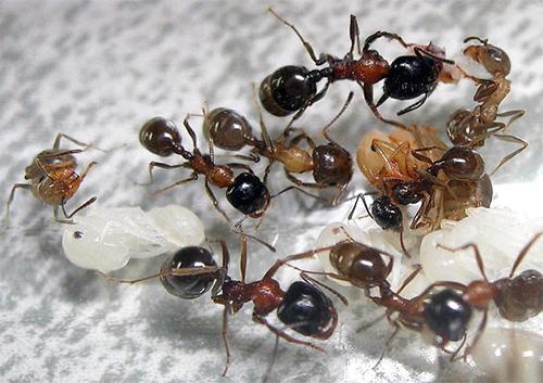 Ameisen Schnitter und ihre Larven