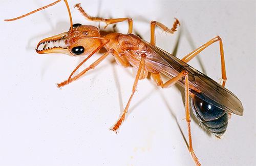 Bulldog Ameisen haben sehr kräftige Kiefer