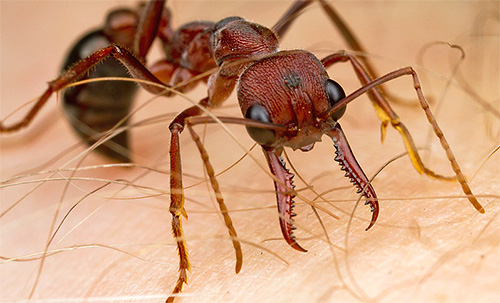 Ameisen-Bulldog-Bisse sind sehr empfindlich.