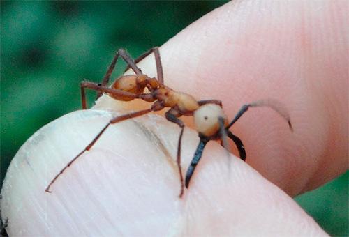Auf dem Foto beißt eine nomadische Ameise einen Mann am Finger