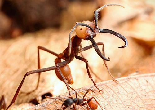 Nomadische Ameisen sind sehr große Insekten