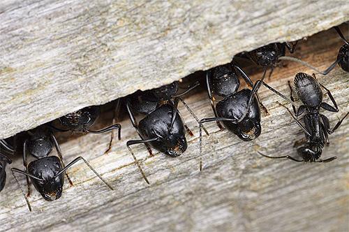 Tischlerameisen können ihre Ameisenhaufen direkt in den Bäumen arrangieren