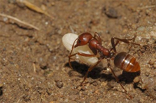 Die Amazone entführte die Larve von einem anderen Ameisenhaufen