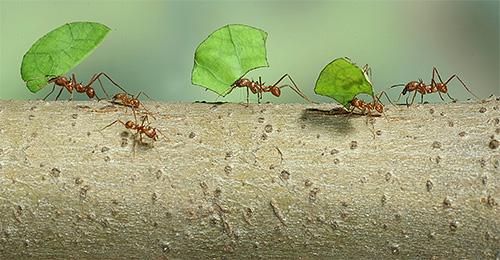 Blattschneiderameisen verwenden Pflanzenblätter, um Pilze anzubauen