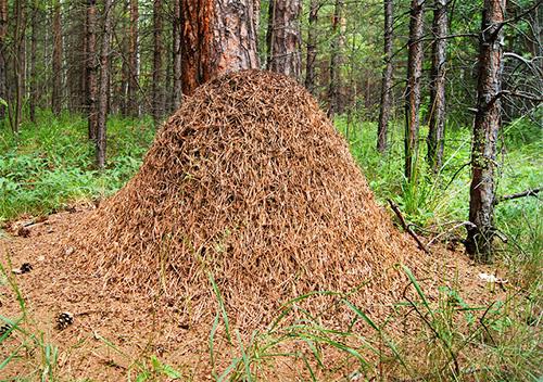 Red Forest Ameisen Ameisenhaufen