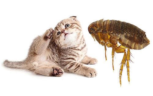 Tatsächlich ist es für Katzenflöhe nicht so wichtig, eine Katze oder eine Person zu beißen. Aber über alles in Ordnung ...
