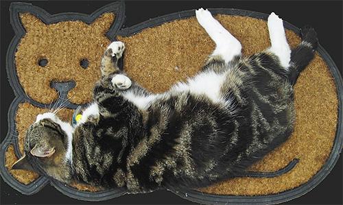 Nur wenige Menschen wissen, dass der Hauptlebensraum von Flöhen nicht auf dem Körper der Katze, sondern auf dem Teppich oder auf der Einstreu liegt.