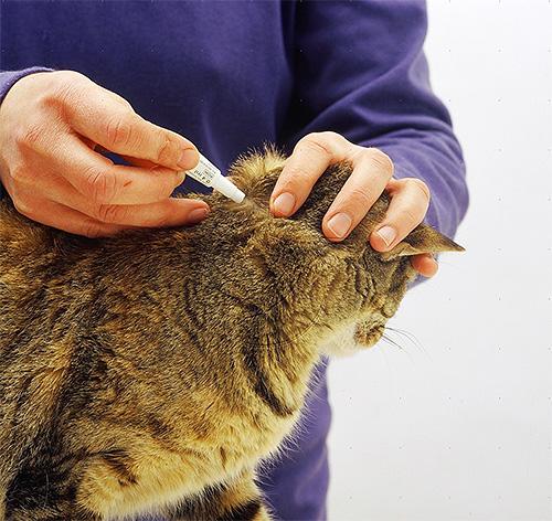 Insektizidtropfen werden auf den Widerrist und entlang der Wirbelsäule der Katze aufgetragen.