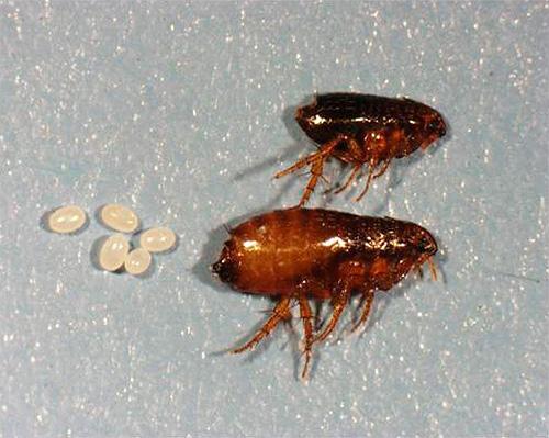 Das Foto zeigt ausgewachsene Flöhe und ihre Eier.
