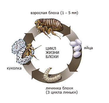 Floh-Lebenszyklus