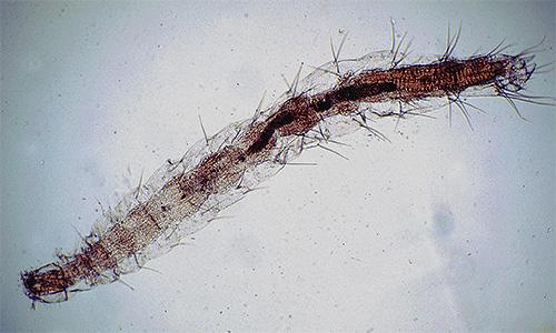 Flea-Larven unter dem Mikroskop