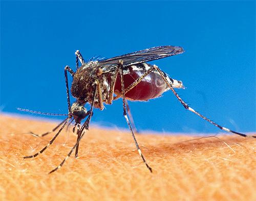 Mückenstiche in Vietnam und Thailand werden oft mit Sandflohbissen verwechselt.
