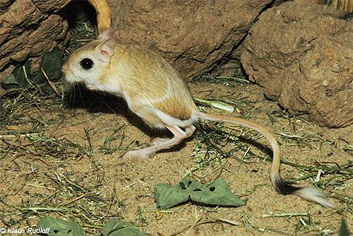 Obwohl die Pest heute von der Welt fast vergessen ist, finden sich ihre Krankheitserreger immer noch in den jerboa-Kolonien in Zentralasien.