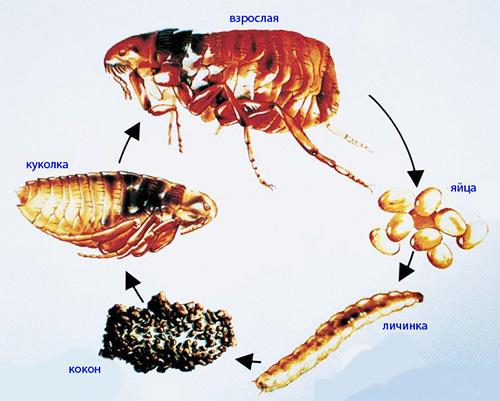 Das Bild zeigt den Lebenszyklus eines Flohs.