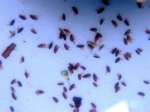 Die Verwendung von modernen Insektiziden ermöglicht es Ihnen, sogar eine große Anzahl von Flöhen in der Wohnung schnell loszuwerden
