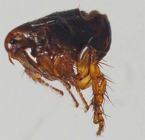 Der menschliche Lebensraum kann eine Vielzahl von Flöhen parasitieren: normalerweise sind dies Flöhe von Hunden, Katzen, Ratten und Menschen.